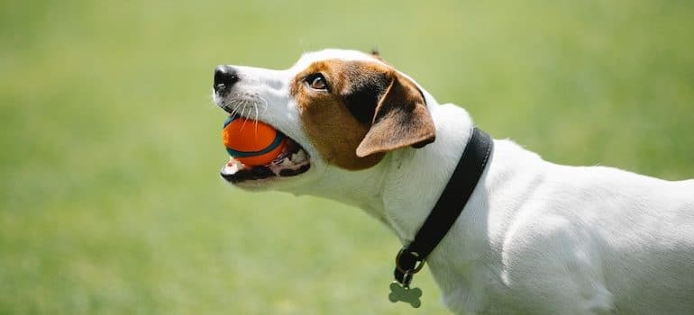 dog in a park holding a ball